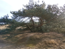 Tree on Dune hill - Sonse Woos