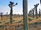 Willow Sentinels